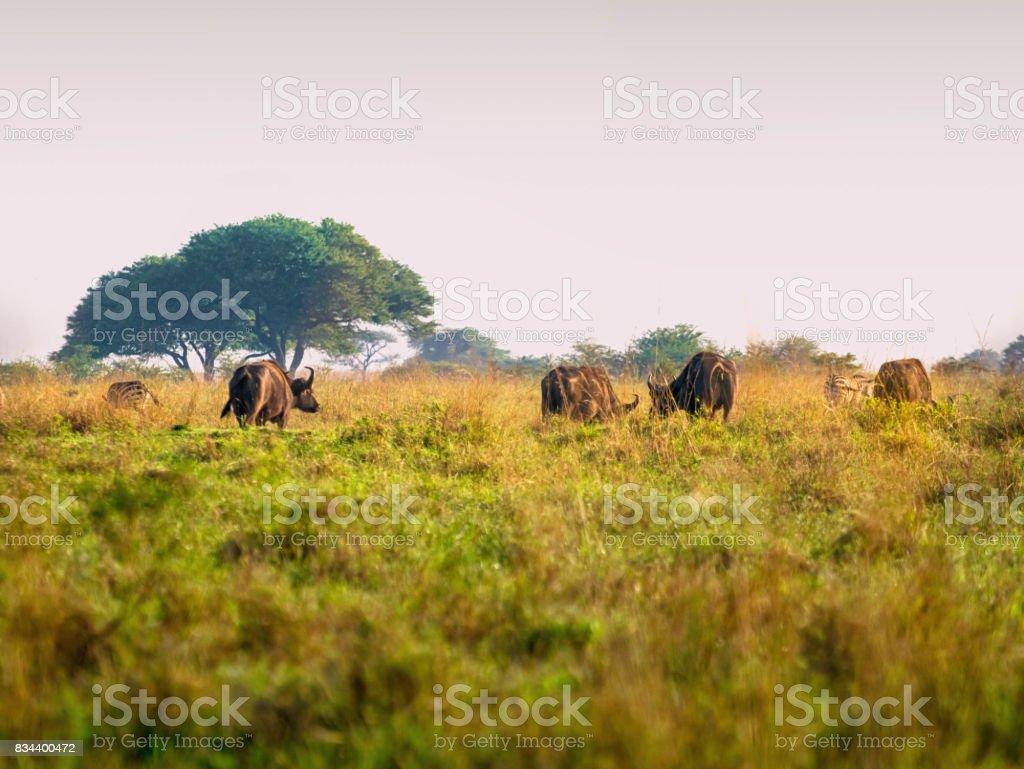 Buffaloes grassing on African savanna, Kenya stock photo