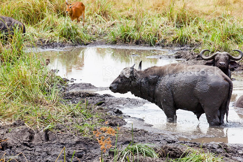 Buffaloes in Queen Elizabeth National Park - mud bath stock photo