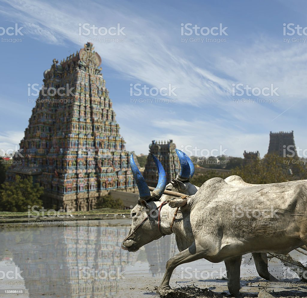 buffaloes in rice fields on the background Hindu temple stock photo