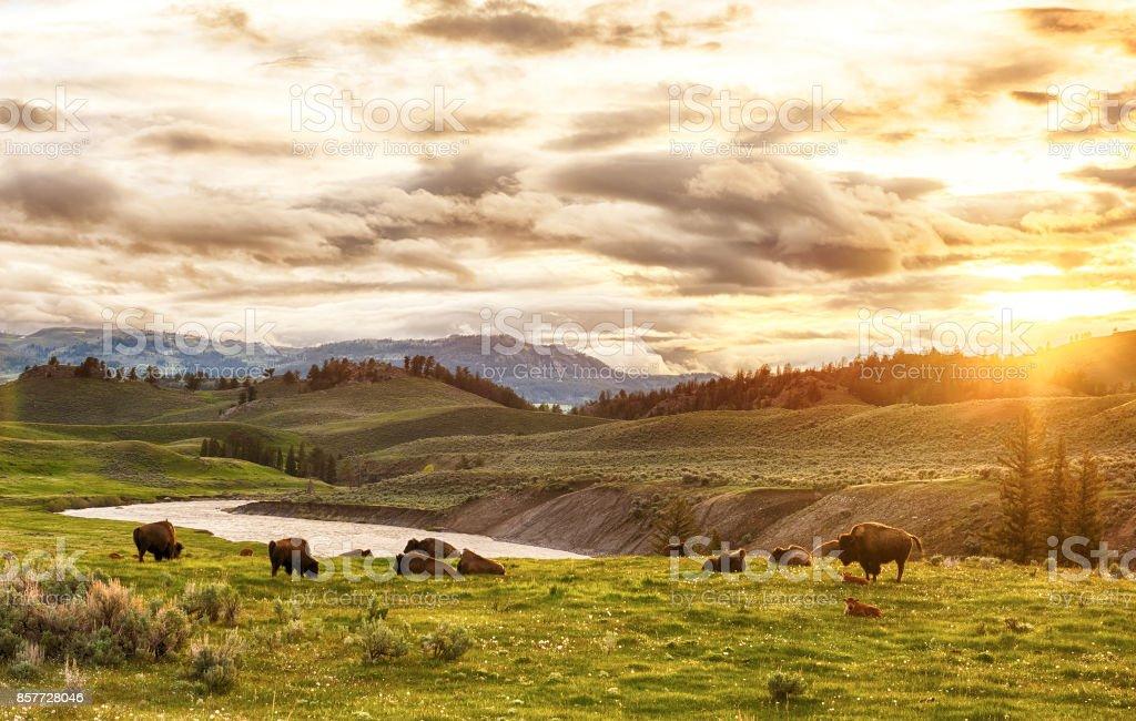 Buffaloes - Photo