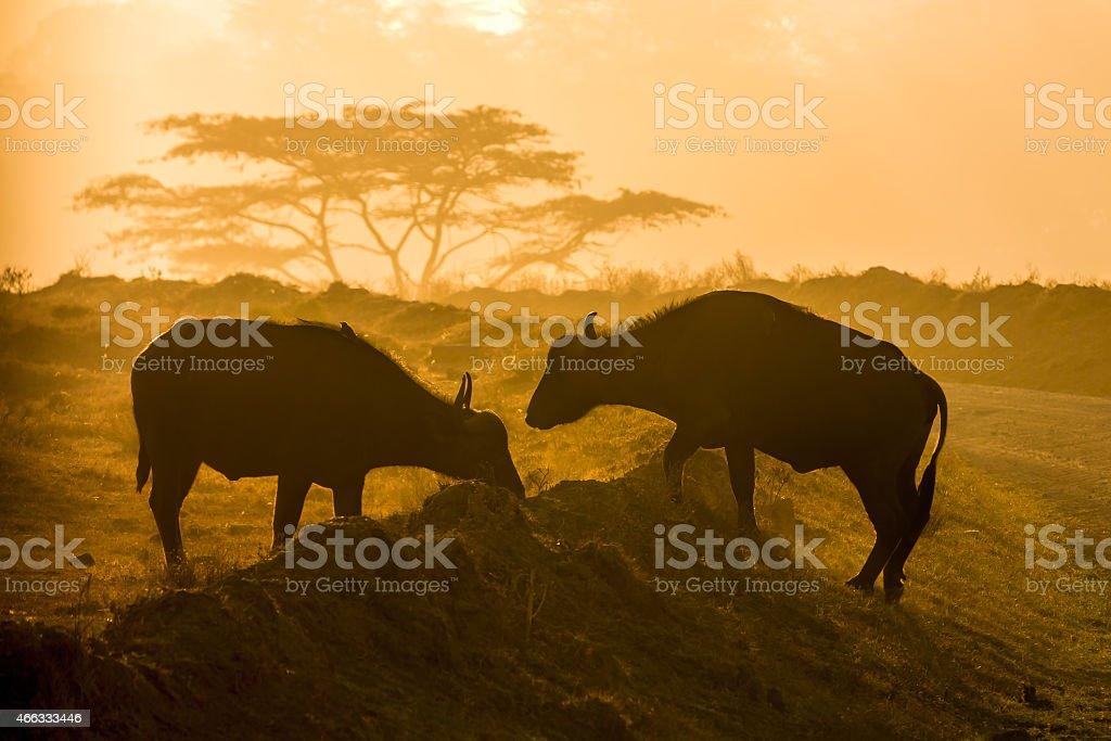 Buffalos at Lake Nakuru - Backlit stock photo