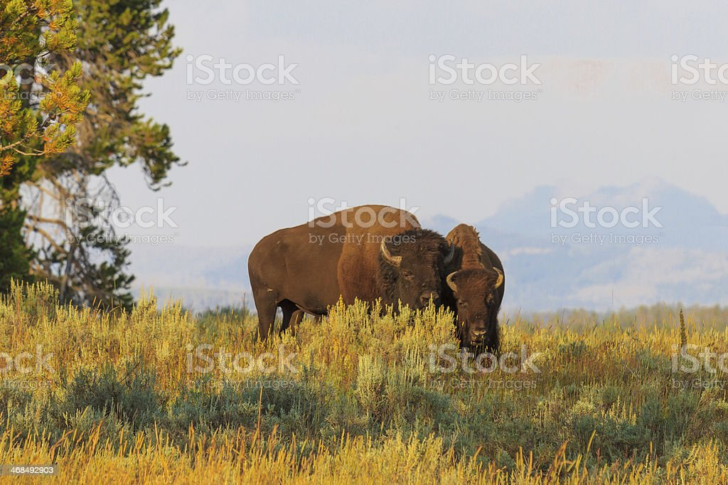 Buffalos / Bisons in high grass, Yellowstone National Park stock photo