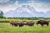 Herd of Buffalos grazing on green meadow in front of the Grand Teton Glaciers Mountain Range in summer under beautiful cloudscape. Grand Teton National Park, Rocky Mountains, Wyoming, USA, North America