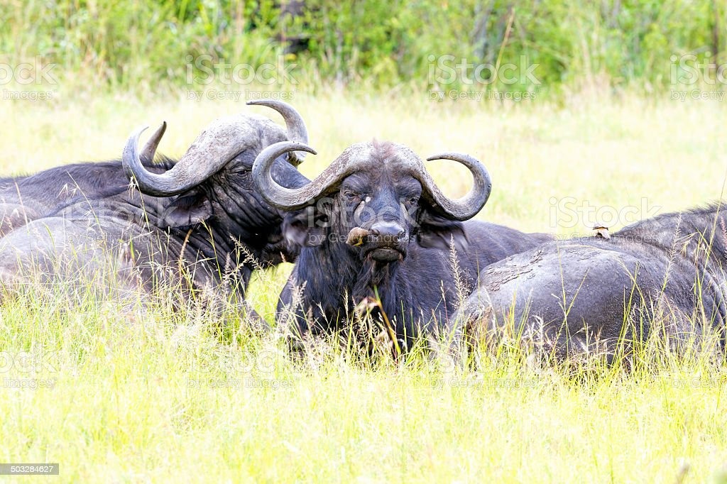 Buffalos - Nose cleaning at rest time stock photo