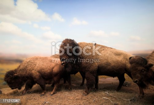 Lifeless buffalos. These buffalos were harmed long before I took this photo. So don't blame me.