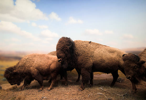 Buffalos Lifeless buffalos. These buffalos were harmed long before I took this photo. So don't blame me. herding stock pictures, royalty-free photos & images