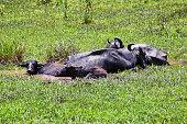 Buffalos relaxes in the mud in Periyar national park, Kerala, South India
