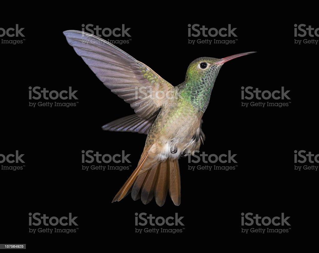 Buff-bellied Hummingbird flying up royalty-free stock photo