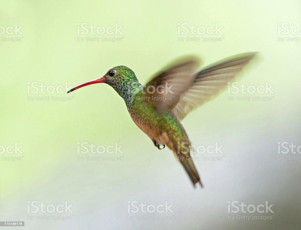 Buff-bellied Hummingbird, Texas royalty-free stock photo