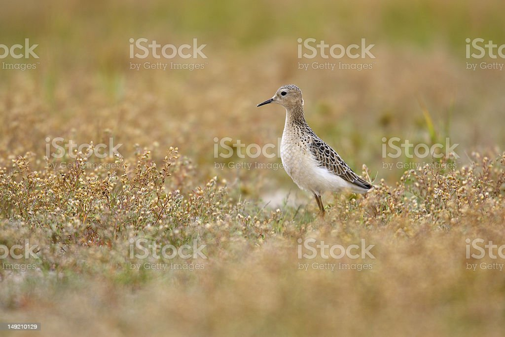 Buff-breasted Sandpiper (Tryngites subruficollis) stock photo