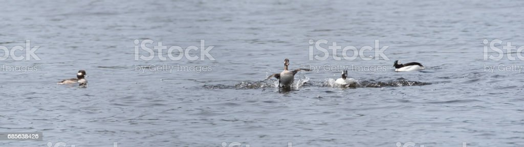 Bufflehead ducks (Bucephala albeola) in springtime. royalty-free stock photo