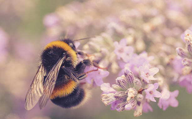 buff-tailed bumble bee on lavender flowers - bumblebee stock pictures, royalty-free photos & images