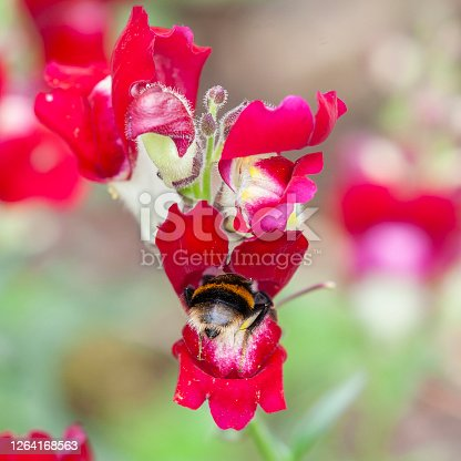 A Buff-tailed Bumblebee, Bombus terrestris,  feeding in a Snapdragon (Antirhinnum majus 'Night and Day') flower. Pollen can bee seen on the bee and the flower. Bumblebees are the only pollinators which can pollinate Snapdragons