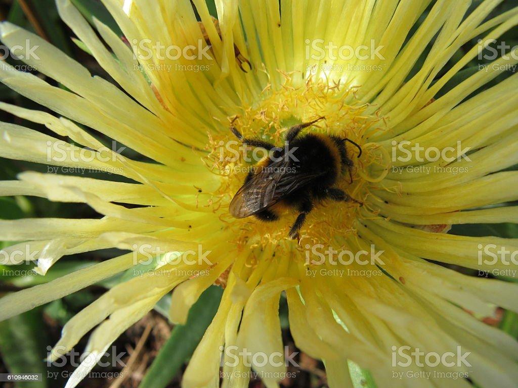 Buff-tailed bumblebee stock photo