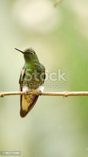 Buff-tailed coronet (Boissonneaua flavescens) hummingbird perched on a branch in a garden near Mindo, Ecuador