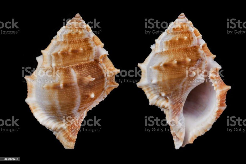 Bufonaria rana - Royalty-free Animal Shell Stock Photo