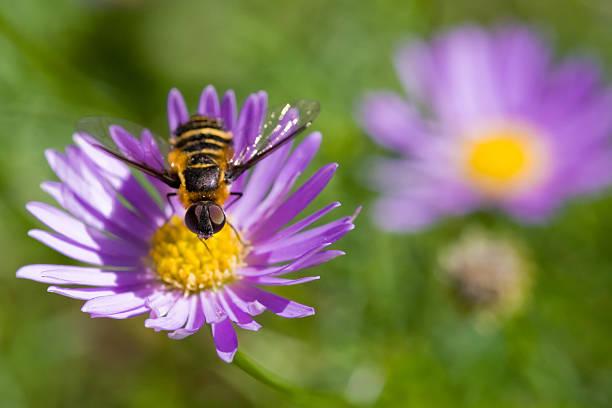 Bug on a Daisy stock photo
