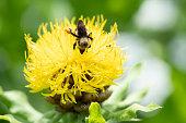 Bug on Centaurea