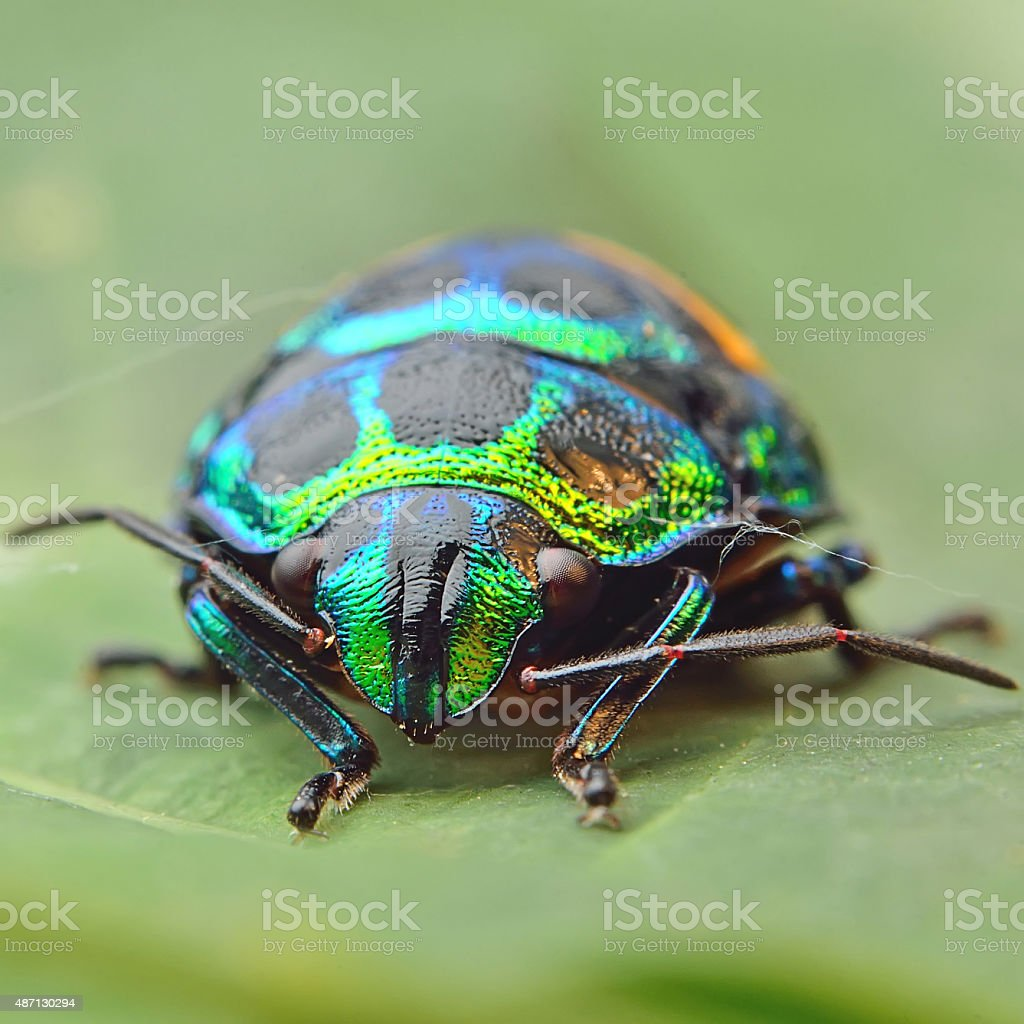 Bug (Chrysocoris stollii) stock photo