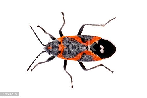 bug Small Milkweed Bug Lygaeus kalmia red black with heart