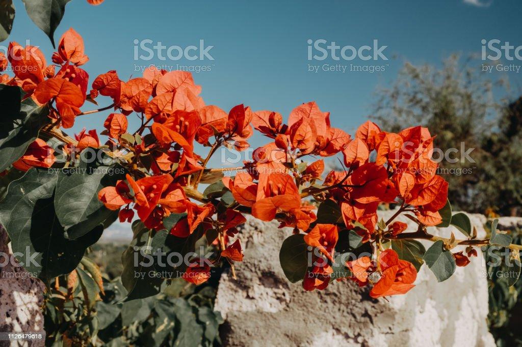 Bugambilia Roja - foto de stock
