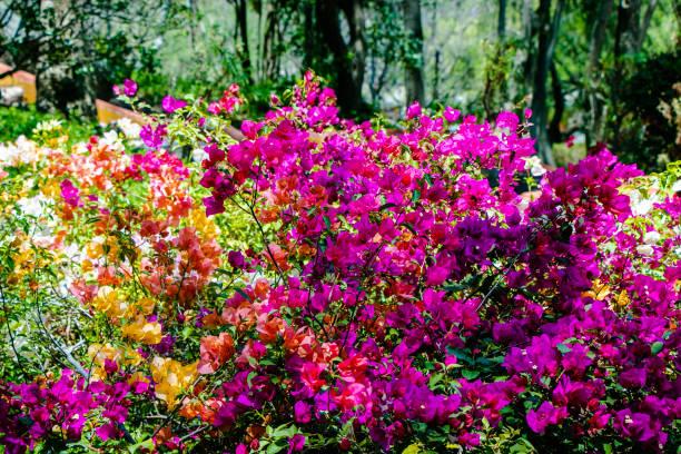 Bugambilias flowers stock photo