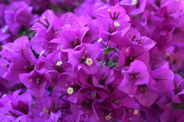 Bugambilias Purple Color stock photo