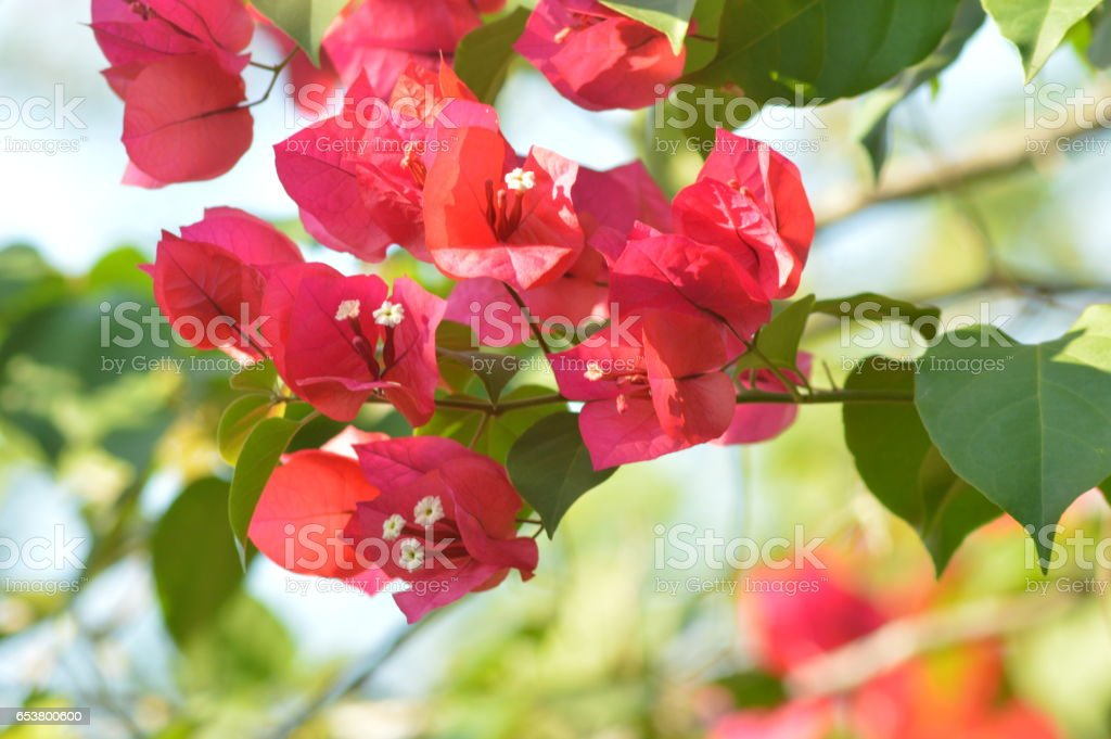 bugambilias rosas stock photo
