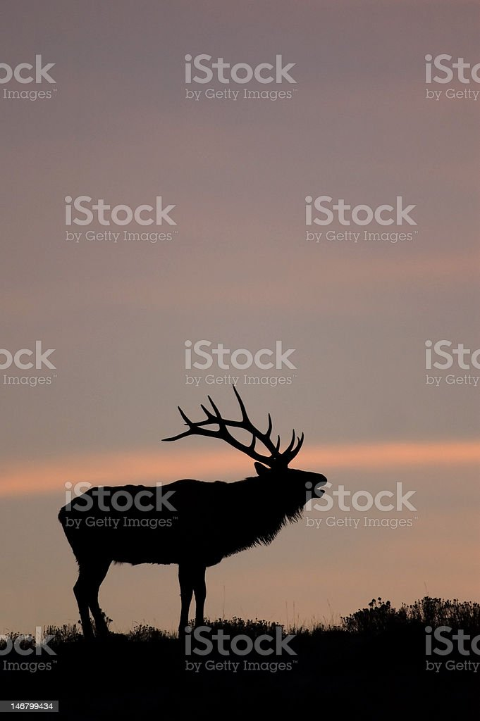 Bugling Elk in Yellowstone National Park, Wyoming. royalty-free stock photo