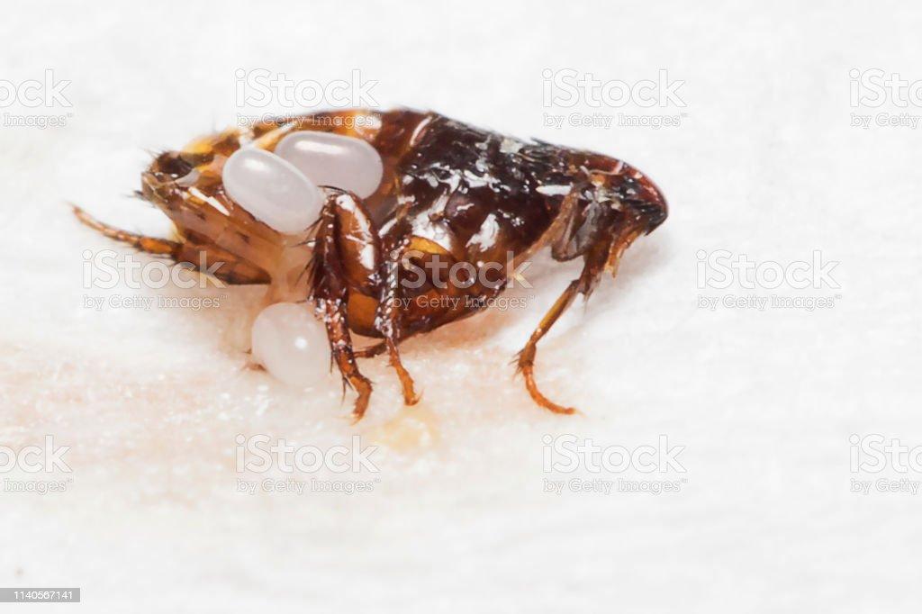 Bugs Bugs Bugs Flea Eggs Stock Photo - Download Image Now
