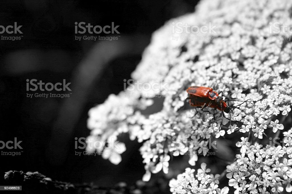 (Love)bugs mating in b/w world royalty-free stock photo