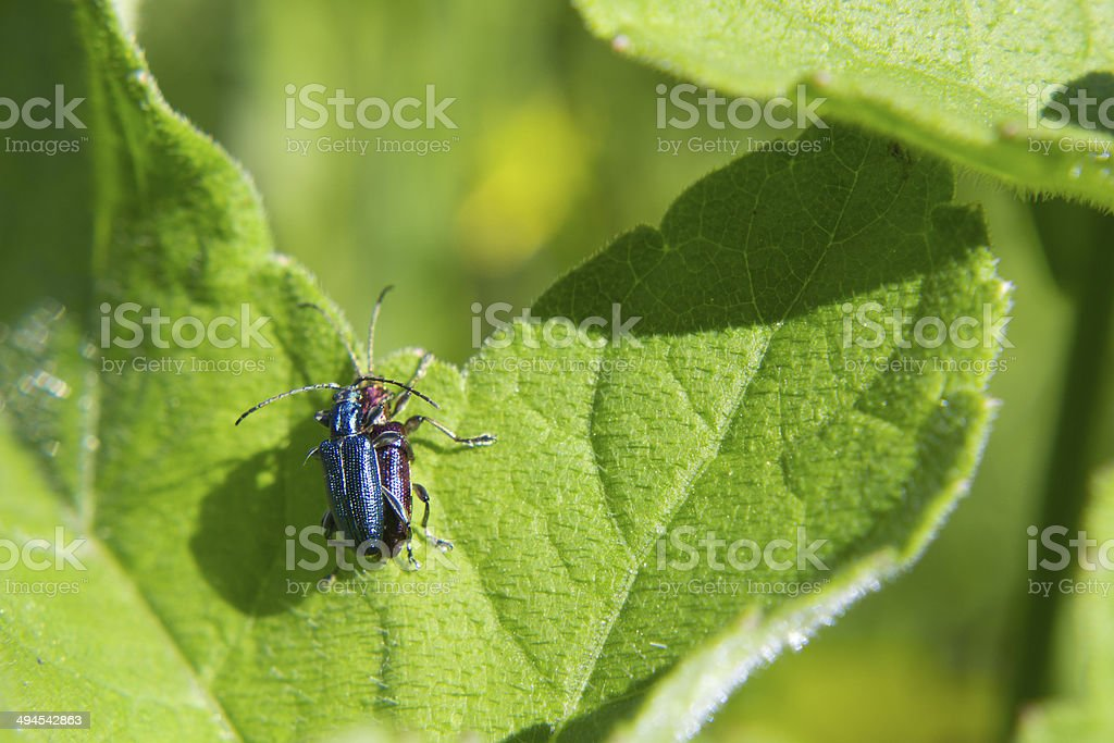 Bugs mating stock photo