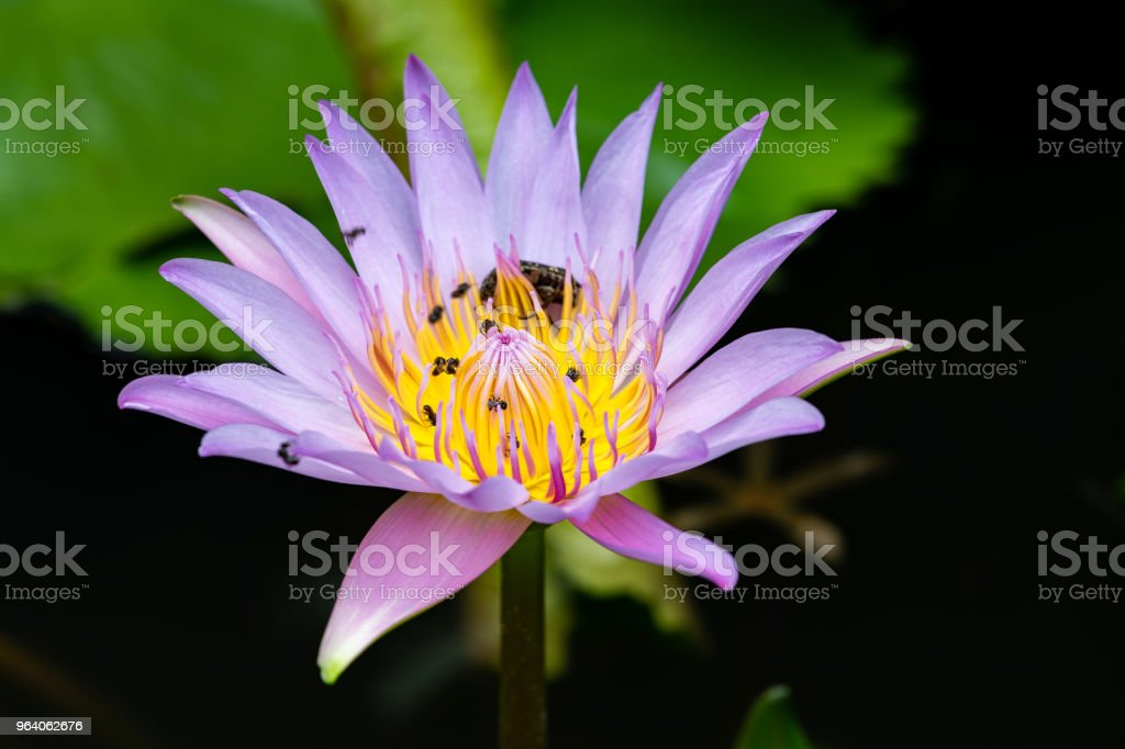Bugs on pink lotus flower. - Royalty-free Backgrounds Stock Photo