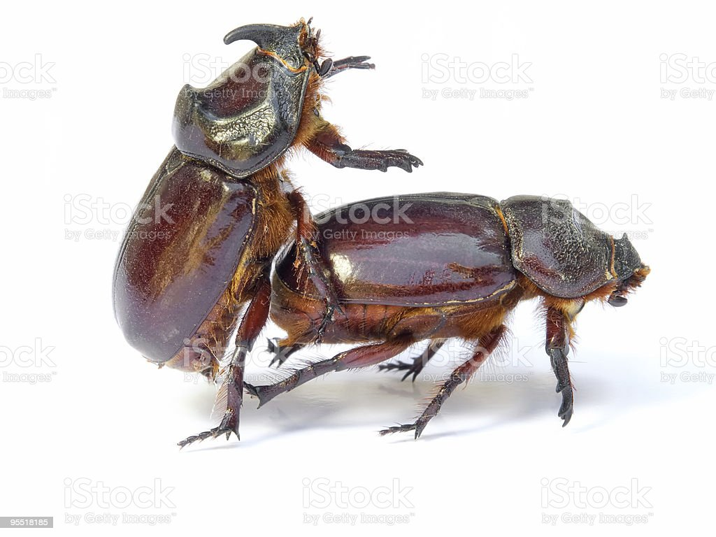 Bugs sex royalty-free stock photo