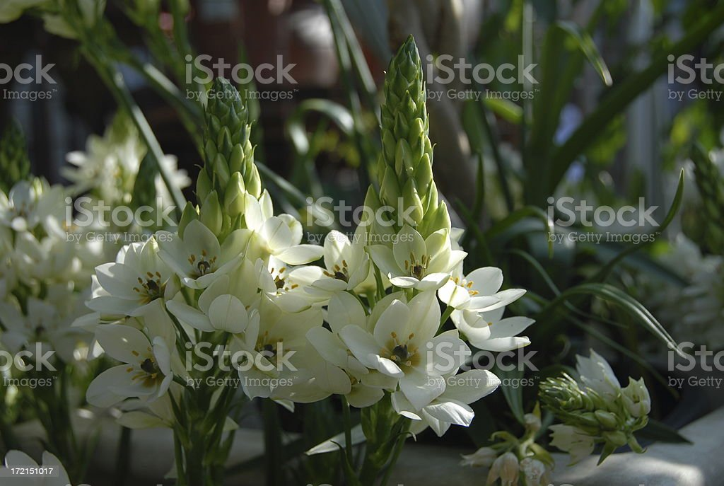 Bulb Flowers White Star Stock Photo & More Pictures of Beauty In ...