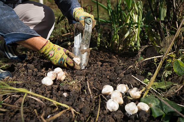 plantoir à bulbes - plante à bulbe photos et images de collection