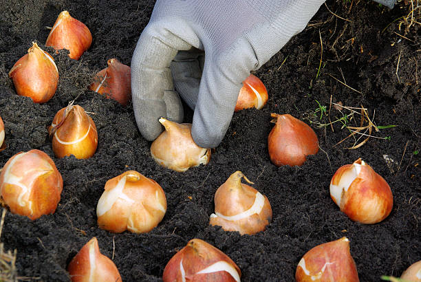 bulb planting bulb planting, tulips plant bulb stock pictures, royalty-free photos & images
