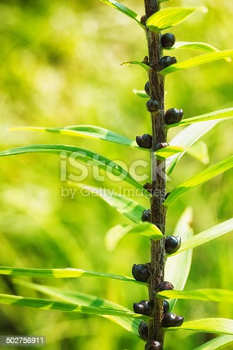 Bulbils growing on tiger Lily stem.