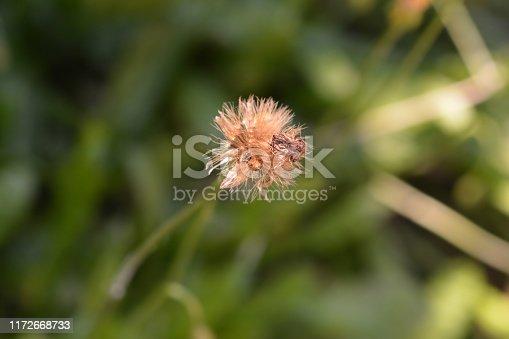Bulbous dandelion seed head - Latin name - Leontodon tuberosus