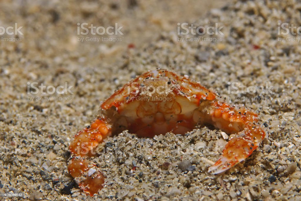 Bulbous purse crab (Umalana purarensis) stock photo
