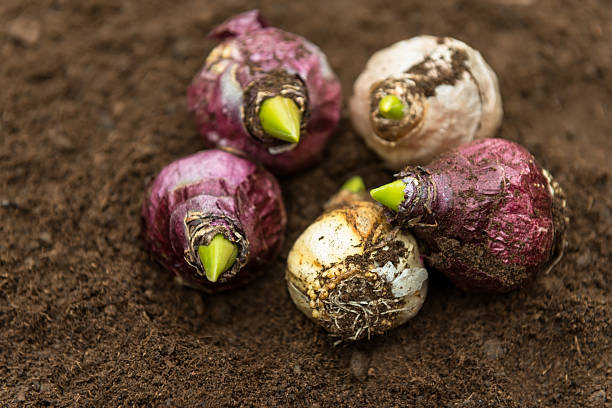 Bulbs in the soil Planting bulbs in the nursery plant bulb stock pictures, royalty-free photos & images
