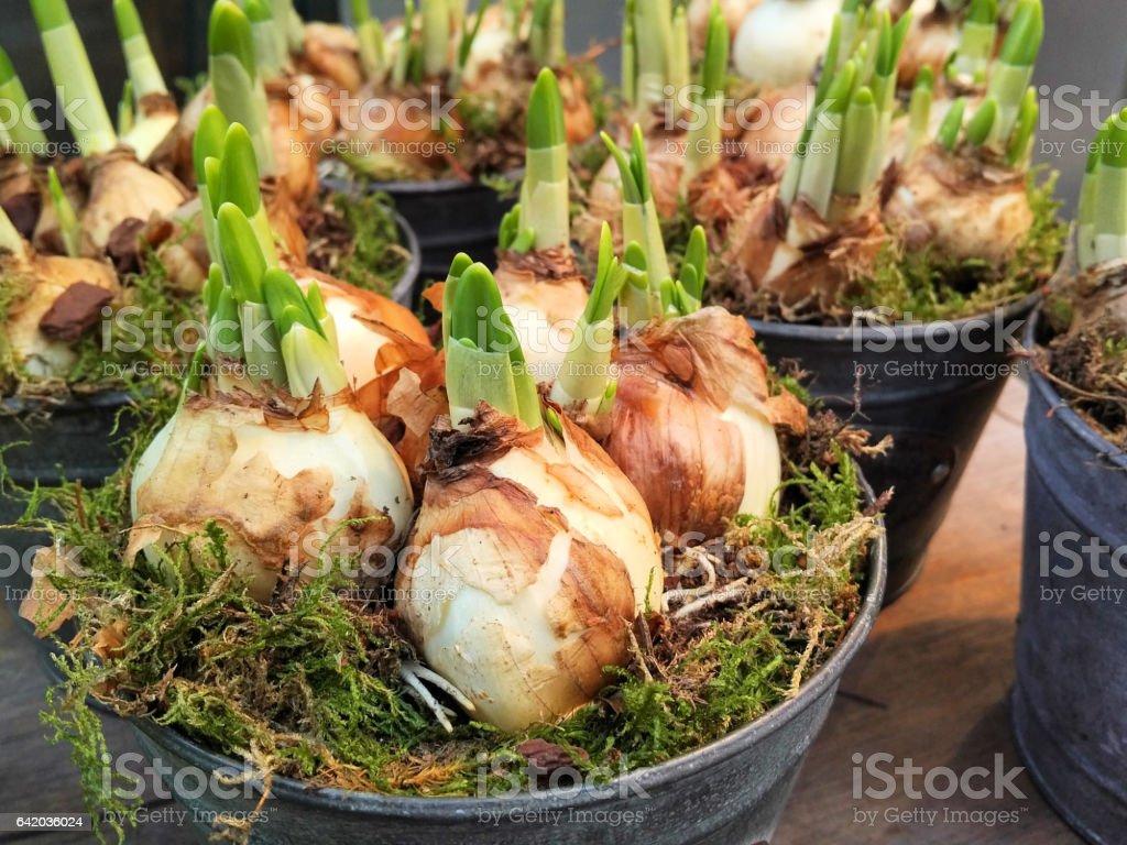 Bulbos De Narcisos Fotografa de stock y ms imgenes de Aire