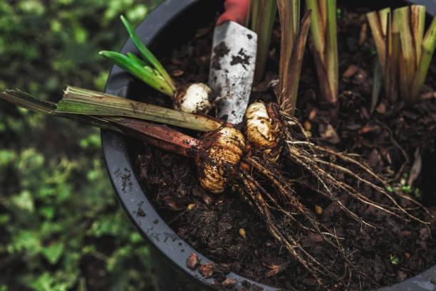 Blumenzwiebeln Pflanzen zum Anpflanzen im Garten – Foto
