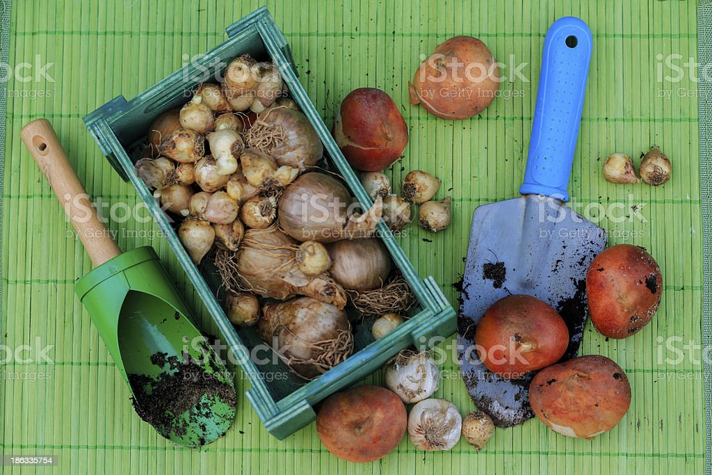 Bulbs of spring flowers  ready for planting. stock photo