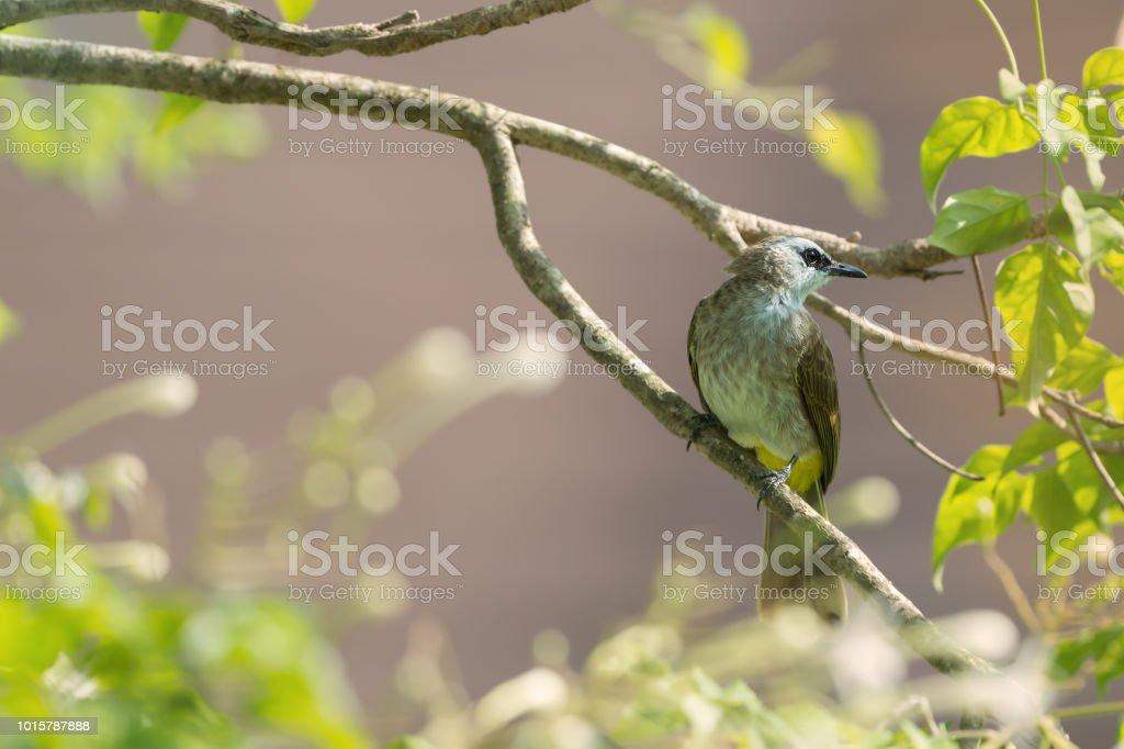 Yellow vented Bulbul bird perching on tree jasmine or Indian cork...