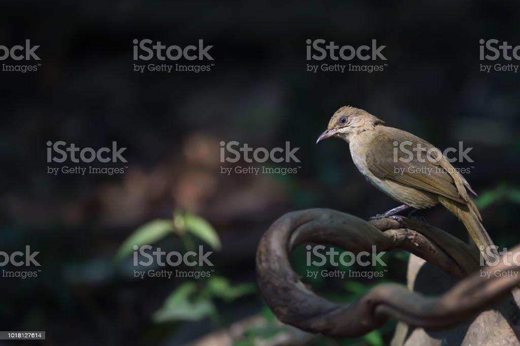 Streak eared Bulbul bird perching on tree roots. Bulbul bird on perch