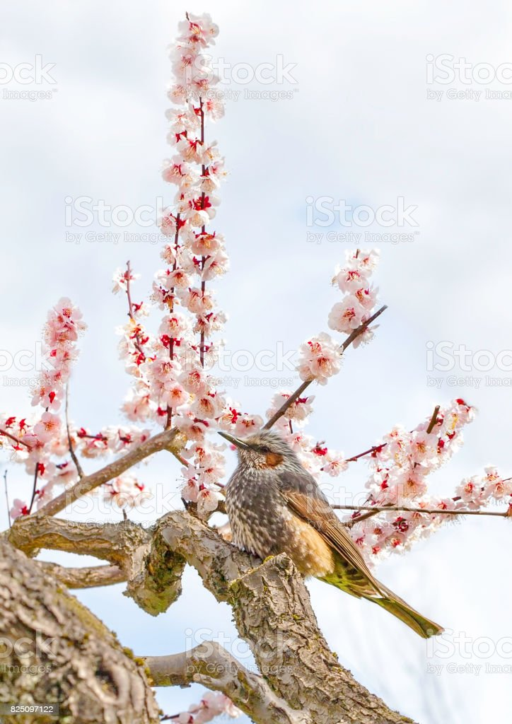 Bulbul on plum tree stock photo