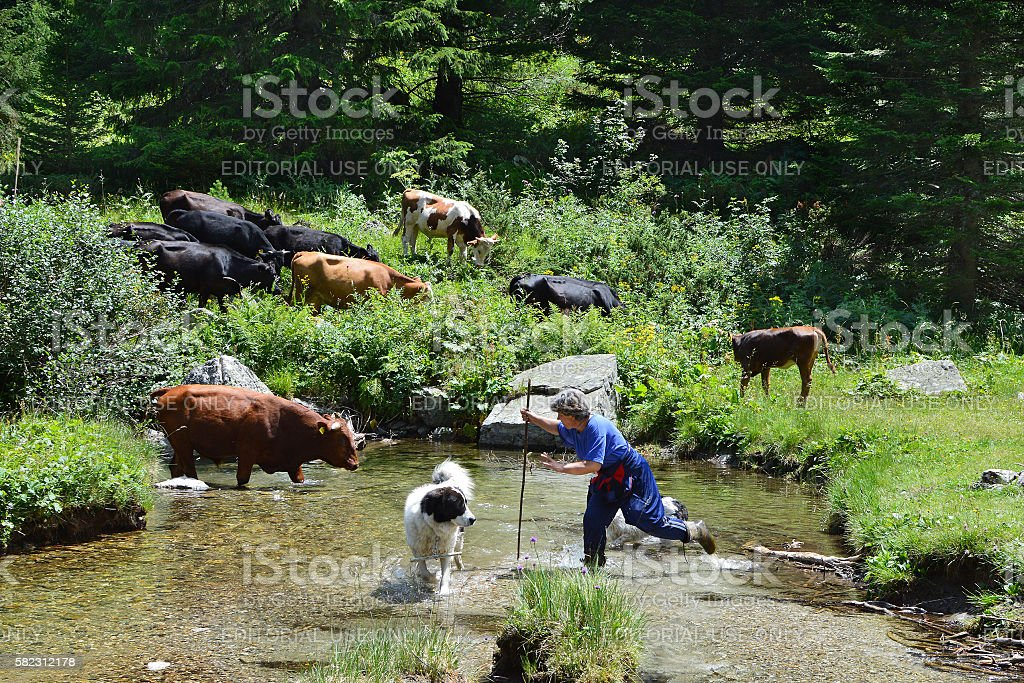 Bulgarian countrywoman with cattle in pasture stock photo