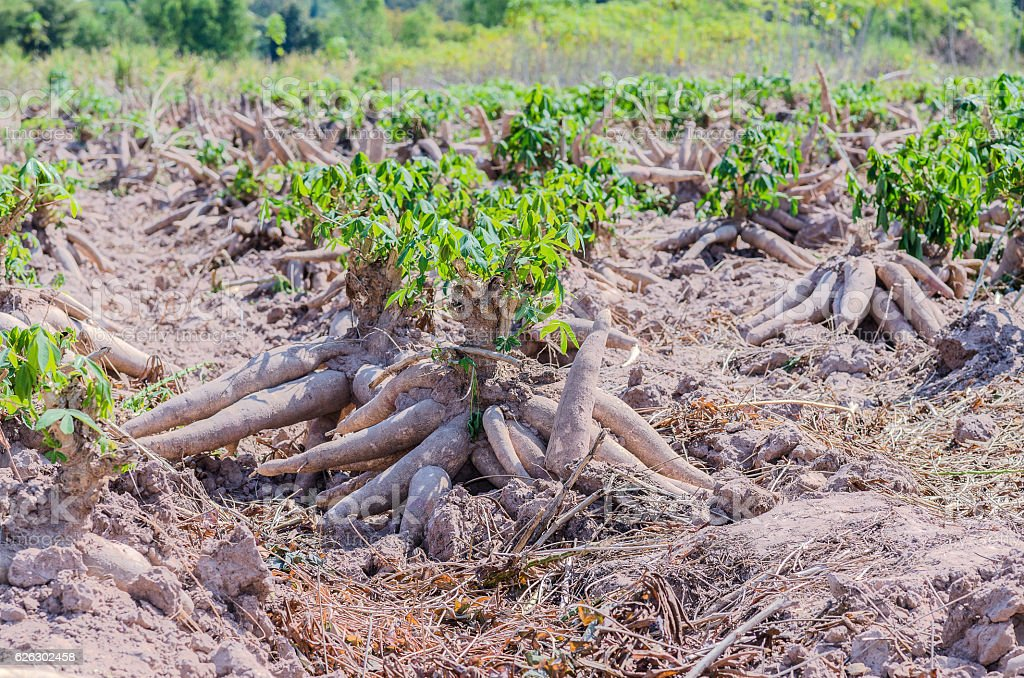 Bulk of fresh cassava harvested in farmland. stock photo