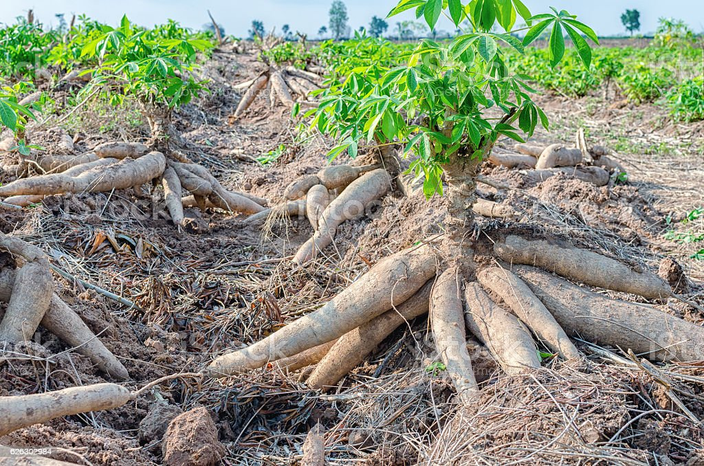 Bulk of fresh cassava harvested in farmland. stock photo